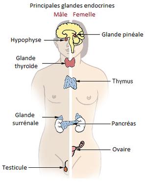 Le système endocrinal et le Reiki